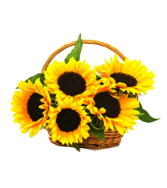 traditional sunflowers in basket
