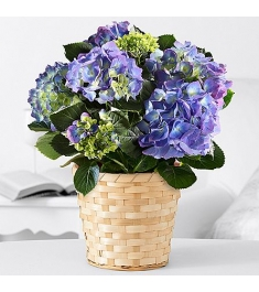 Easter Potted Blue Hydrangea to Philippines