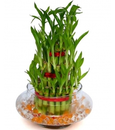 3 Layer Lucky Bamboo Delivery in Philippines