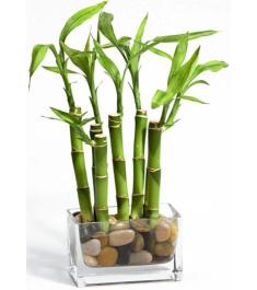 Dracaena Sanderiana Bamboo Tree Plant