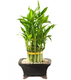 lucky bamboo online philippines