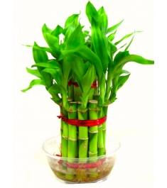 2 Layer Good Luck Bamboo Plants