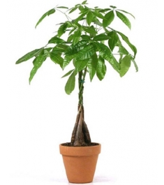 Money Tree Delivery To Philippines
