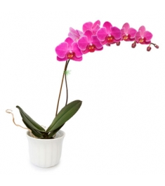Send Orchid Plants To Philippines
