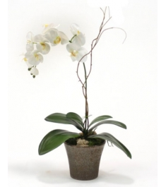 Send Orchids Plants