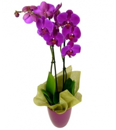 Send Purple Orchid Plants To Philippines