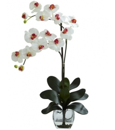 White Dendoriden Orchid - Double Stem Delivery in Philippines