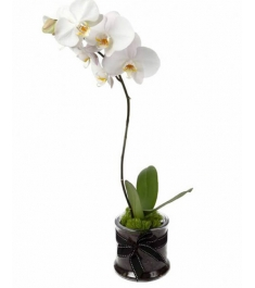 White Phalaenopsis Orchid Delivery To Philippines