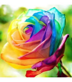 Single Rainbow Rose Send to Philippines