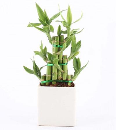 Elegant Lucky Bamboo